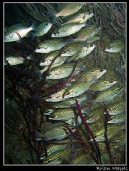 This was just a quick snap at a school of Dotted Bream, b... by Brian Mayes